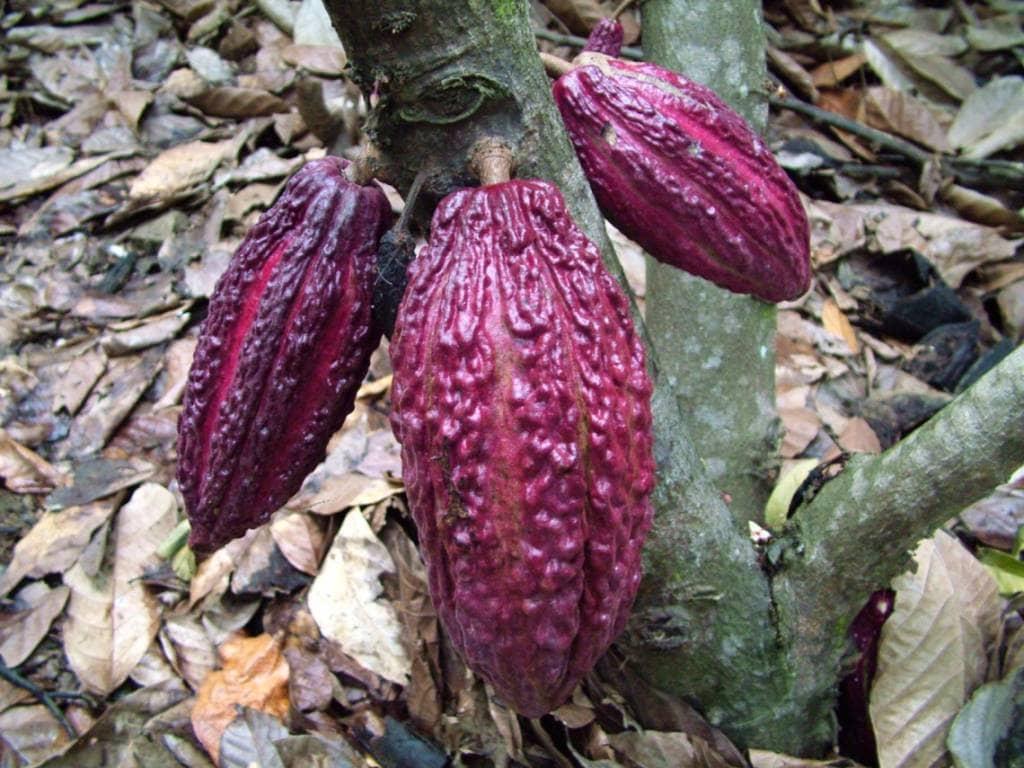 Ecuador ist bekannt für seinen leckeren und hochwertigen Kakao