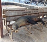 Sea lions lay on park bench in Galapagos