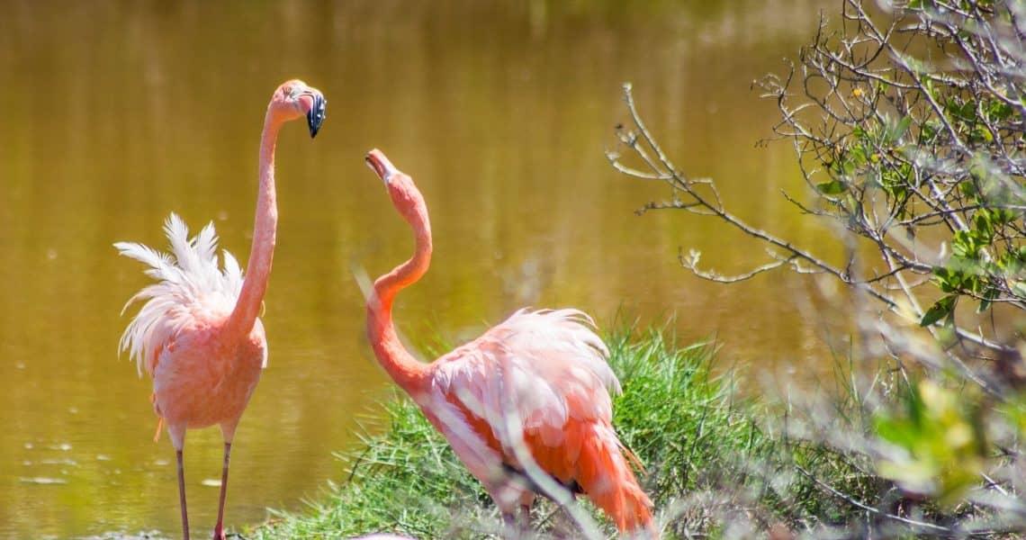 Mit Tieren hautnah - Flamingos schnattern in der Lagune auf Galapagos-Insel Isabela