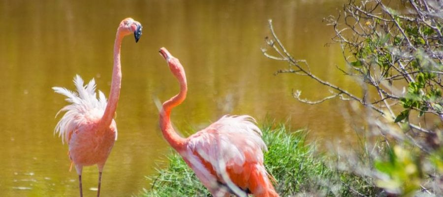 Flamingos live and breed on the beautiful Isabela Island