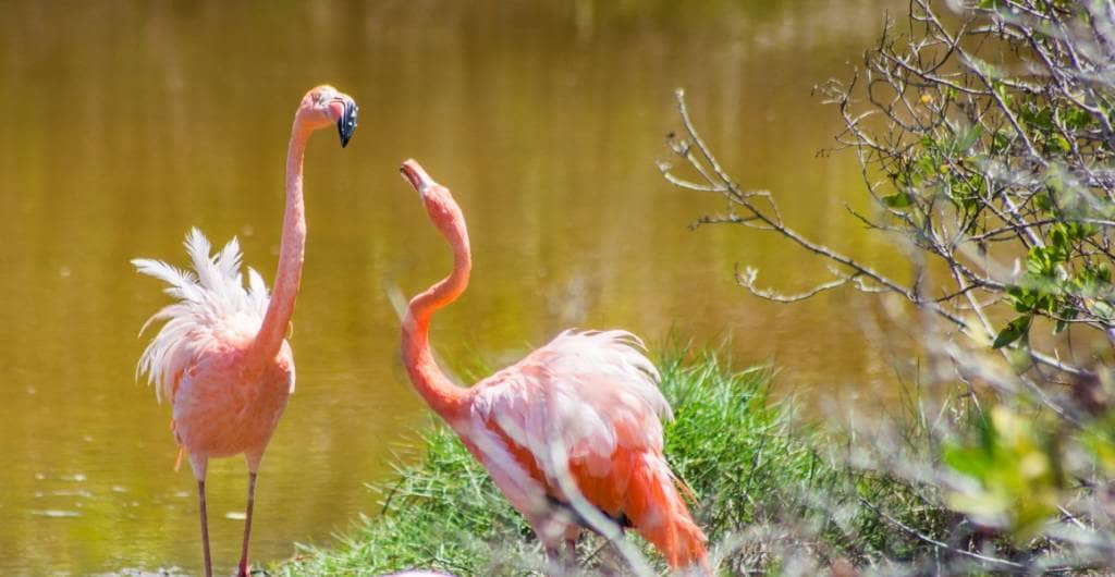 Flamingos schnattern in der Lagune auf Galapagos-Insel Isabela
