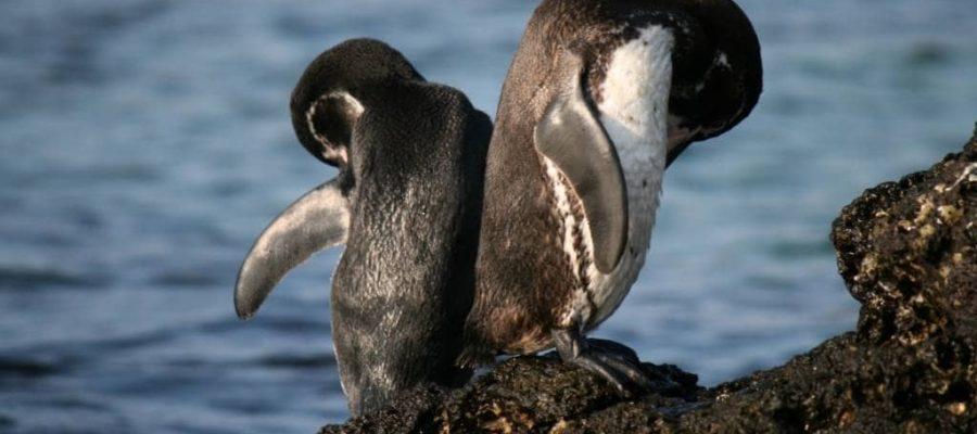 Sehr reinliche Artgenossen - Galapagos-Pinguine vor der Insel Santiago