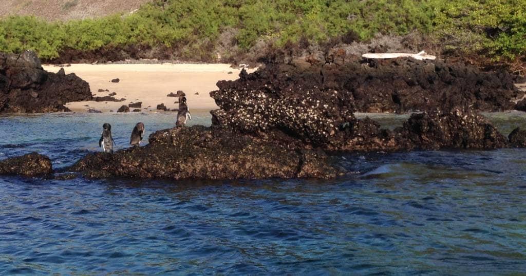Auf der Insel Santiago können Sie mit Galapagos-Pinguinen schnorcheln