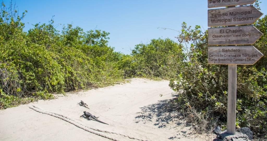Tiere überall, Leguane oder auch Iguanas überqueren den Sandweg von Insel Isabela