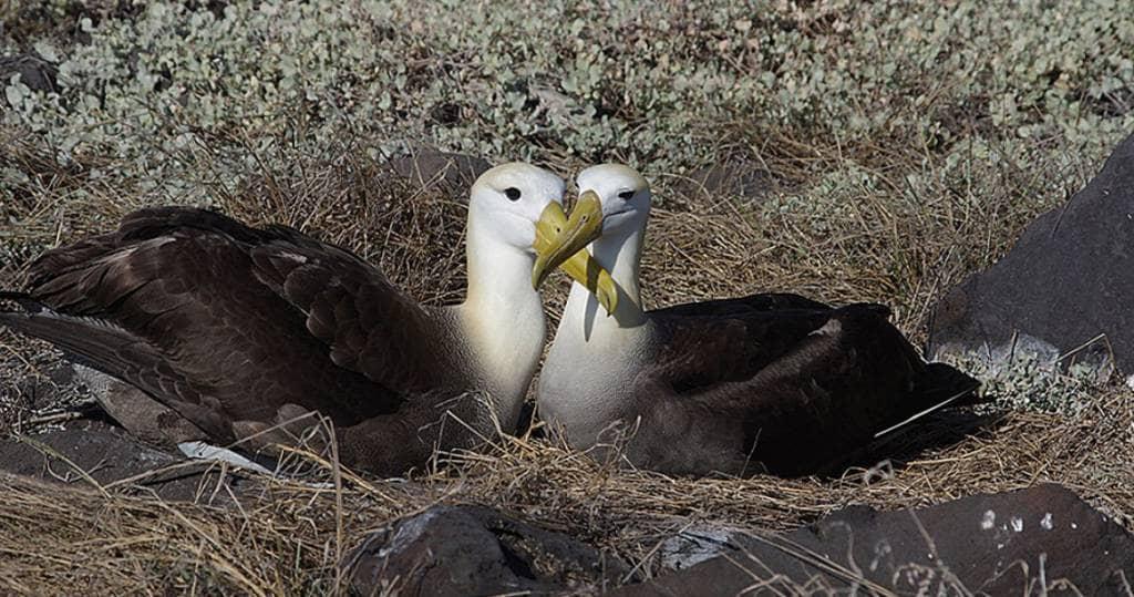 Galapagos PRO Albatrospaar im Nest auf Vogelinsel Espanola - nur auf Kreuzfahrten
