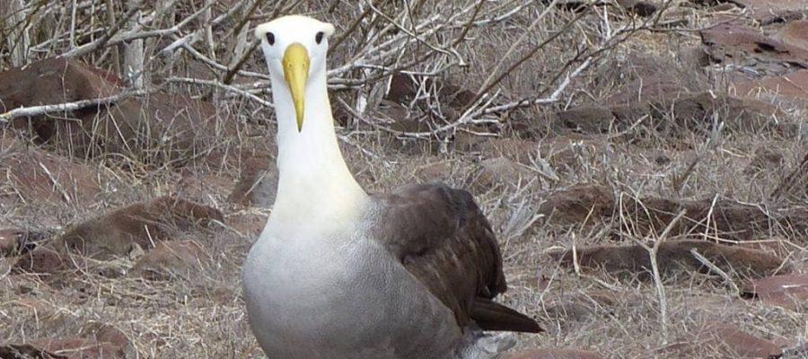 Albatros auf der Galapagos-Insel Española