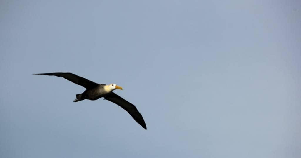 Galapagos PRO Insel Albatros im Anflug
