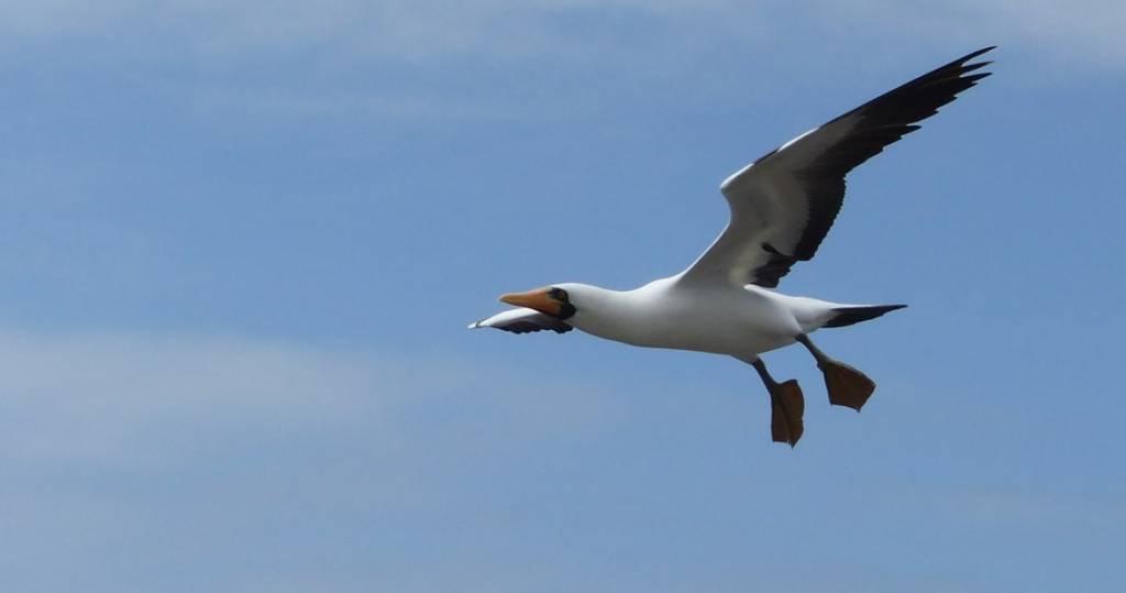 Maskentölpel im Anflug auf die Galapagos-Insel Española