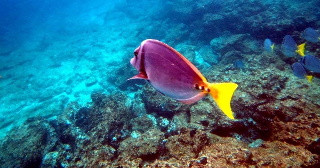 Galapagos- Insel Española - Bunte Tropenfische beim Schnorcheln und Schwimmen entdecken