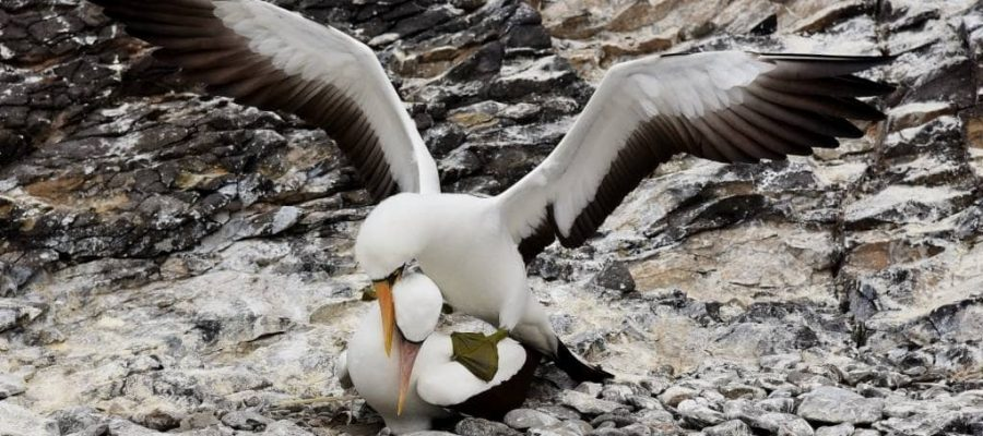 Mating dance of the masked booby on Espanola Island