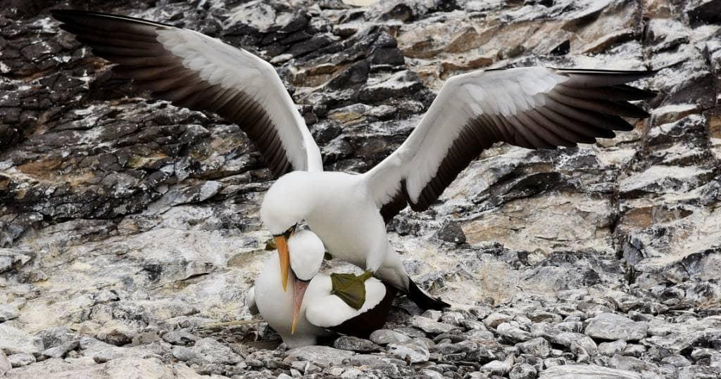 Galapagos PRO Maskentoelpel bei der Balz auf Insel Espanola