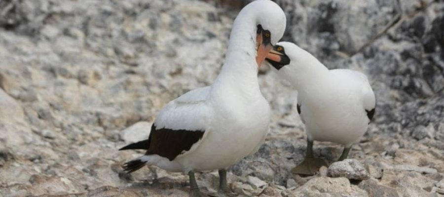 Masked boobys live on Espanola Island in the Galapagos Islands