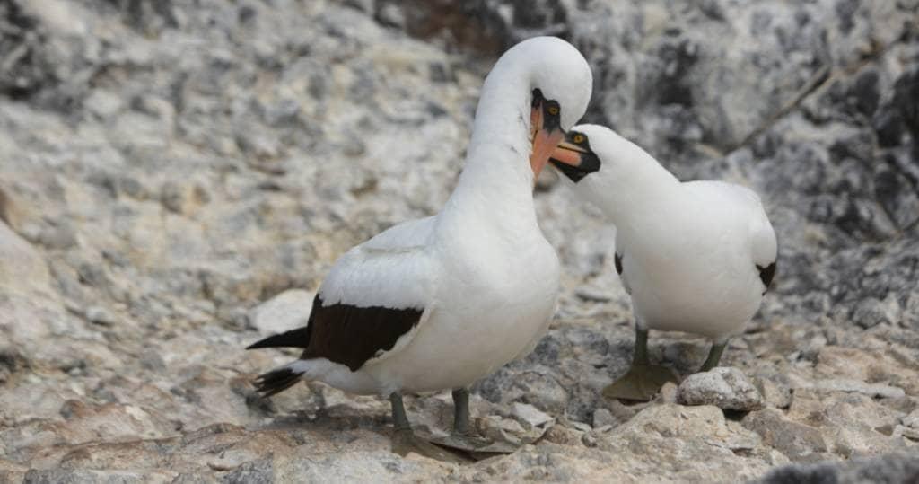 Maskentölpelpaar bei der Balz auf der Galapagos-Insel Española