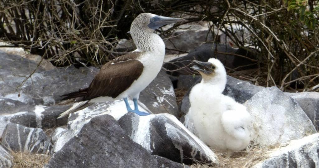 Galapagos PRO Vogelinsel Espanola Blaufusstoelpel mit Jungem