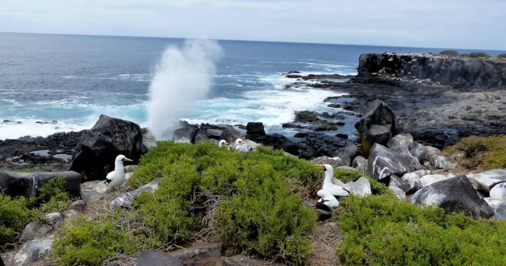Galapagos PRO Vogelinsel Espanola Maskentölpel beim Nestbau