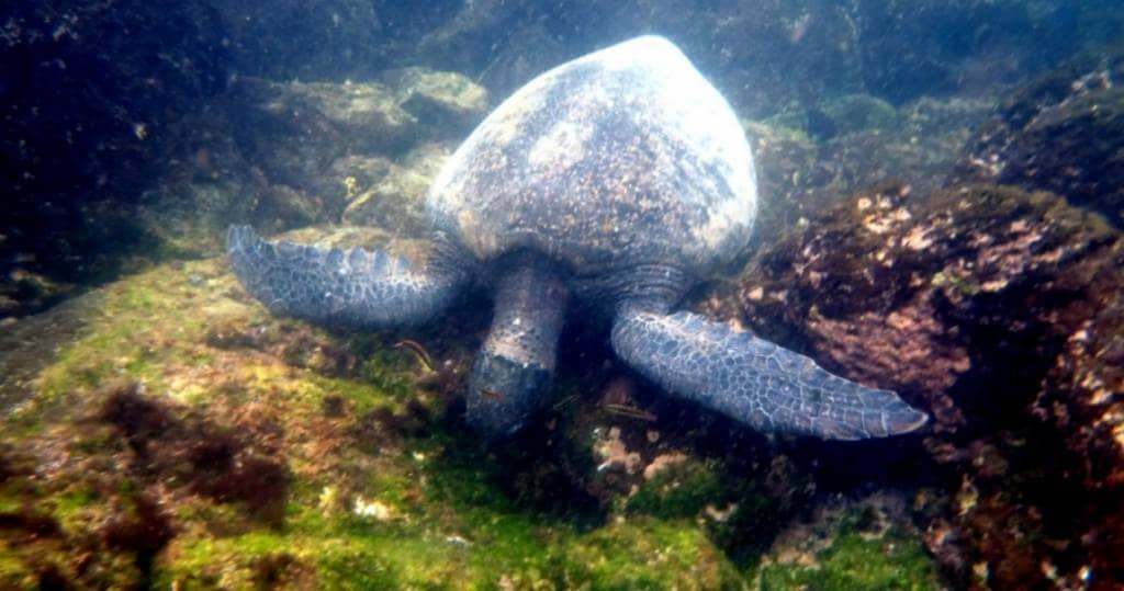Tolle Schnorchelerlebnisse in der Gardener Bay der Galapagos-Insel Española erleben