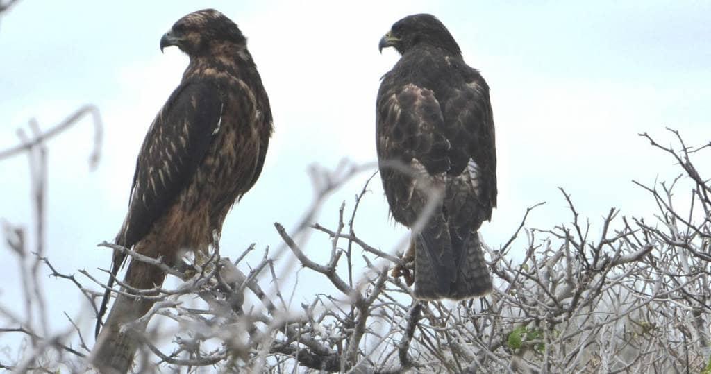 Galapagos PRO endemische Adler und Bussarde auf Insel Espanola