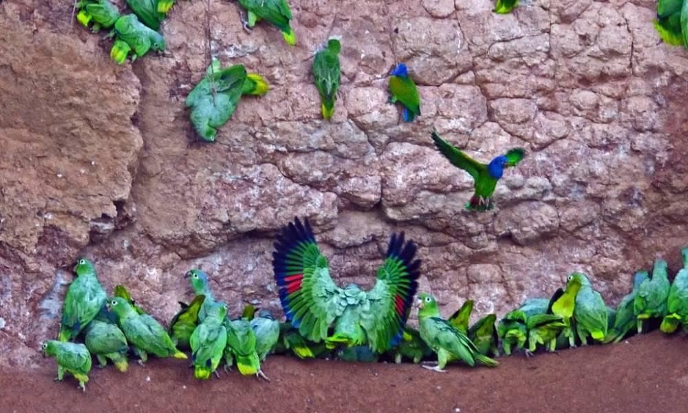 Napo-Wildlife-Center Papageien Lehmgrube - Ecuador & Galapagos Luxus-Reisen