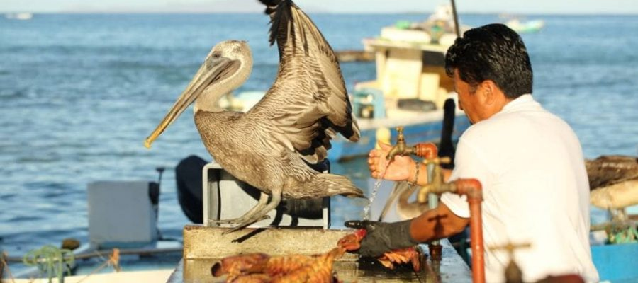 Besuch vom Pelikan auf der Insel Santa Cruz - Kultur in Ecuador und Galapagos-Inseln