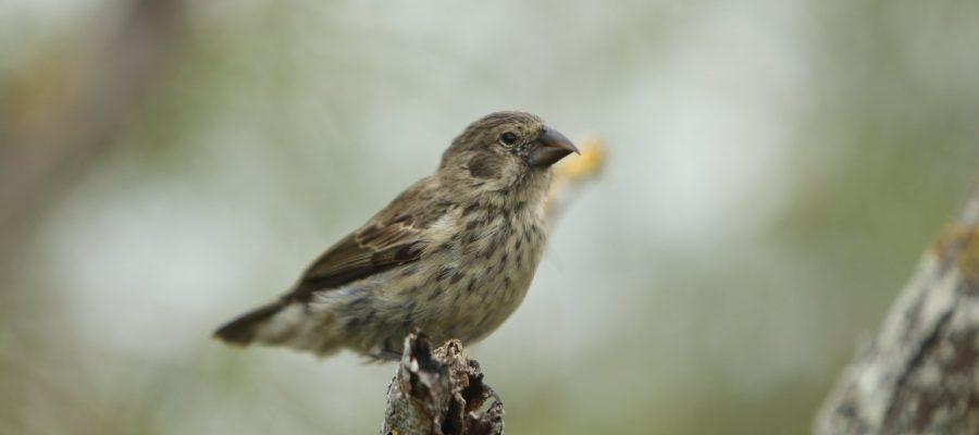 Beobachtung von Darwin-Finken - Verein Freunde der Galápagos-Inseln Schweiz