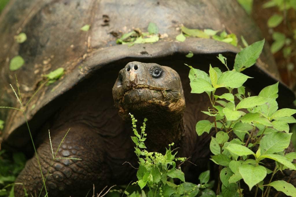 Riesenschildkröte mitten in der Natur - Top 10 Sehenswürdigkeiten auf den Galapagos-Inseln