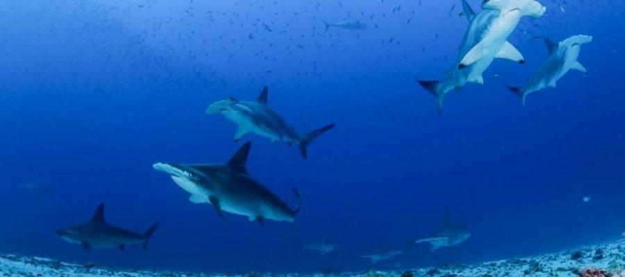 Auch Hammerhaie stehen unter Schutz - Verein Freunde der Galápagos-Inseln Schweiz klärt auf