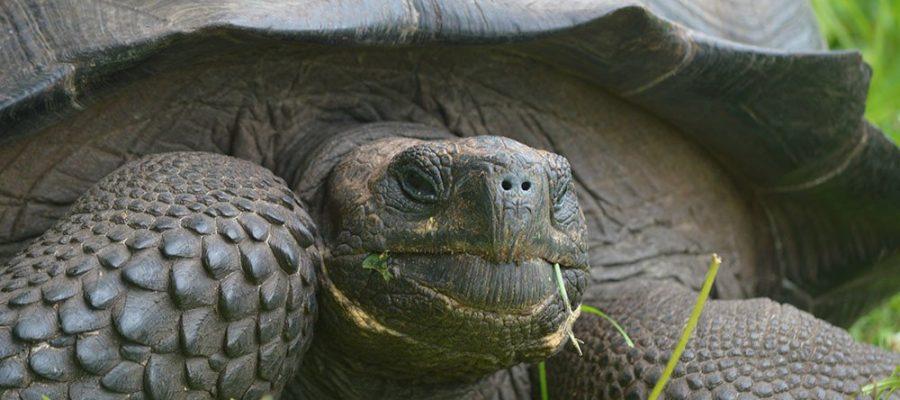 Imposante Riesenschildkröte - Verein Freunde der Galápagos-Inseln Schweiz