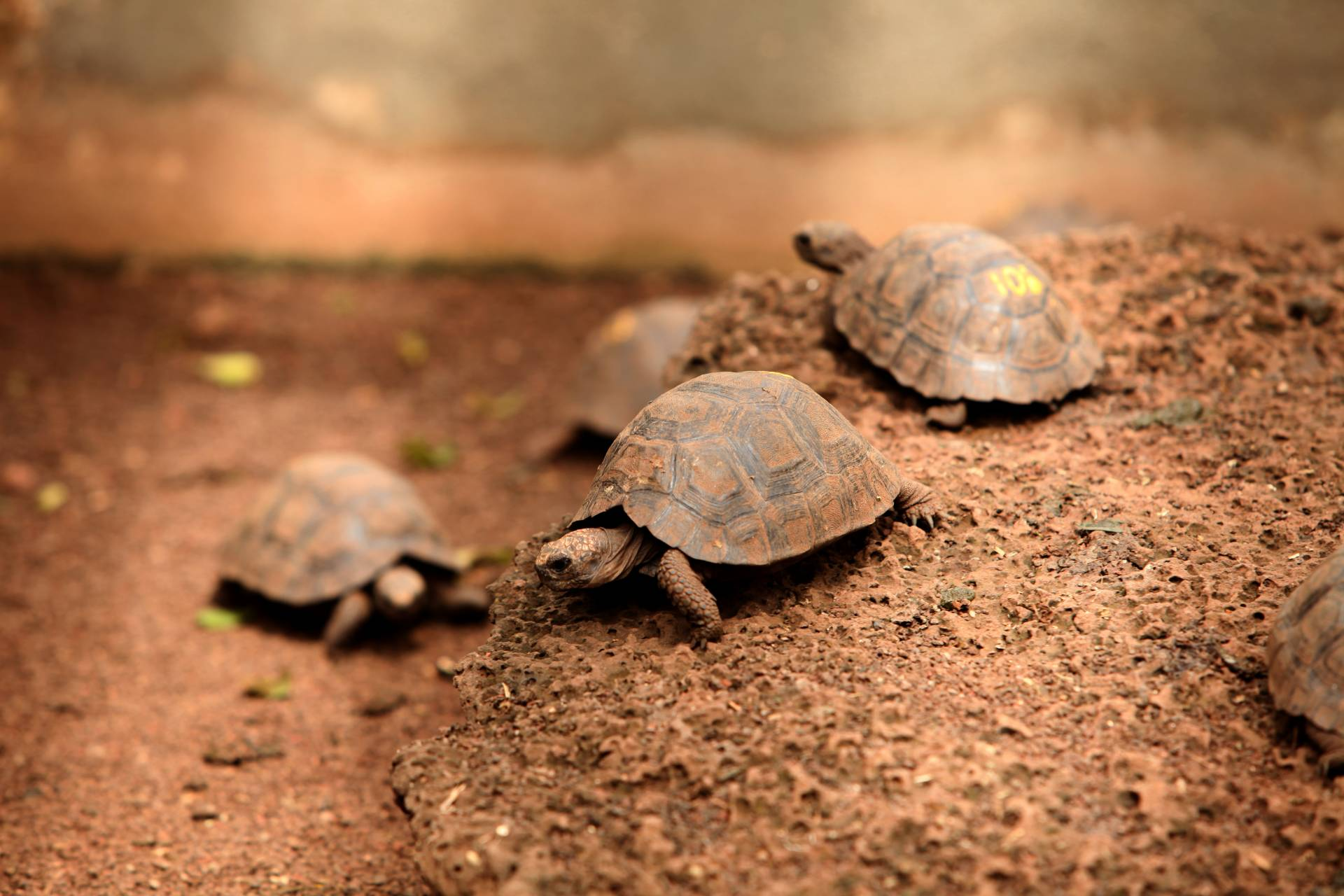 Jungschildkröten in der Aufzucht - Verein Freunde der Galápagos-Inseln Schweiz