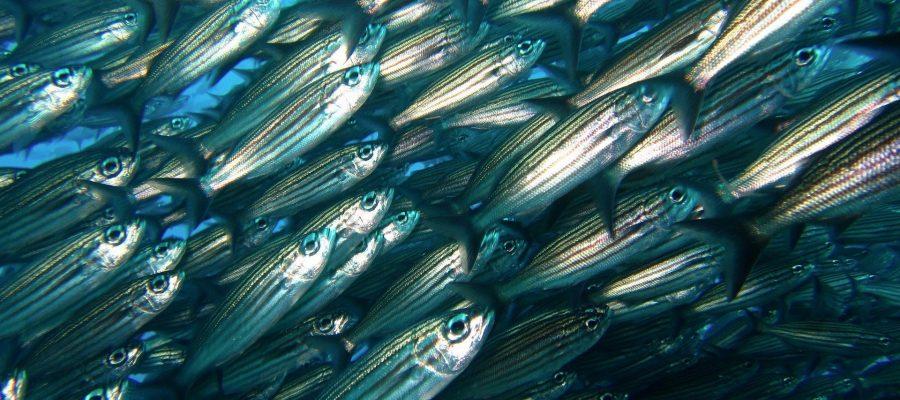 Mitten im Fischwarm - Das schlägt das Taucherherz höher - Tauchen auf den Galapagos-Inseln