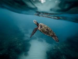 Schwimmen mit Schildkröten - Tauchen auf den Galapagos-Inseln