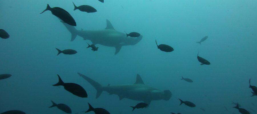 Zwischen Hammerhaien und Fischschwärmen schwimmen - Tauchen auf den Galapagos-Inseln