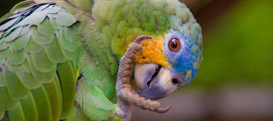 Blaustirnamazone - Ornithologische Reisen
