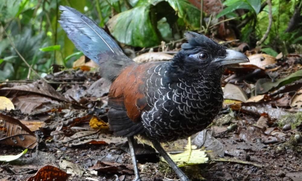 Bindengrundkuckuck - Ornithologische Reisen