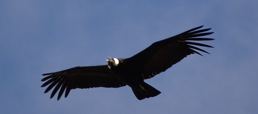 Anden-Kondor im Antisanilla Nationalpark - Ornithologische Reisen