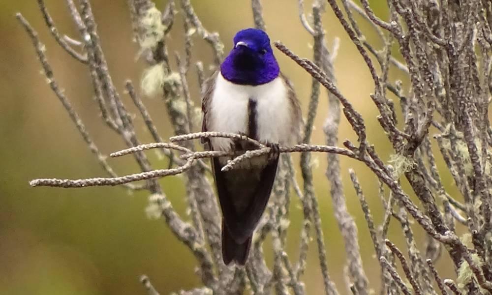Ecuador-Andenkolibri im Antisanilla Nationalpark - Ornithologische Reisen
