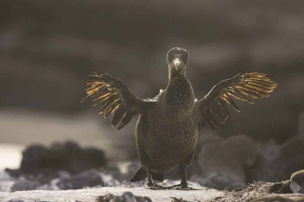 Galapagos Kormoran mit Stummelflügel