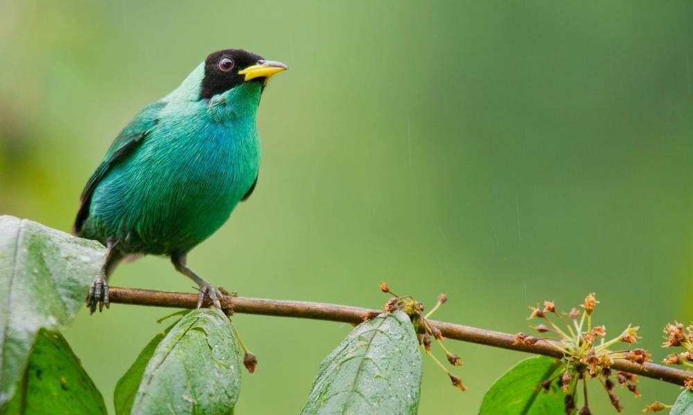 Männlicher Kappennaschvogel - Ornithologische Reisen