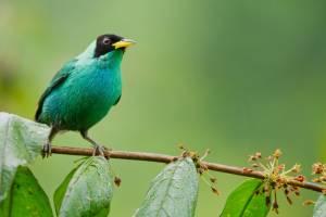 Tolle Exemplare ganz nah beobachten - Männlicher Kappennaschvogel in der Region Mindo bei Quito