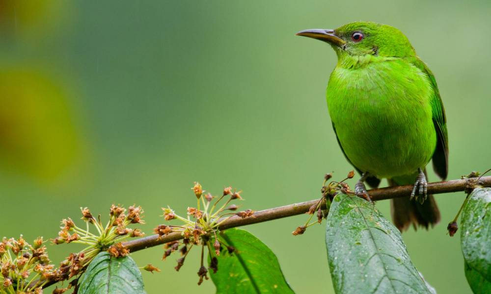 Weiblicher Kappennaschvogel - Ornithologische Reisen