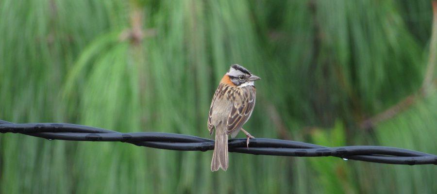 Ein Vertreter der Gattung der Darwin-Finken - Ornithologische Reisen