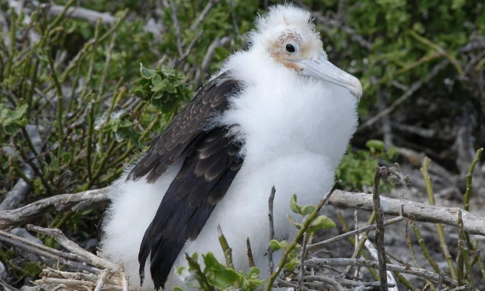 Albatros-Küken - Ornithologische Reisen