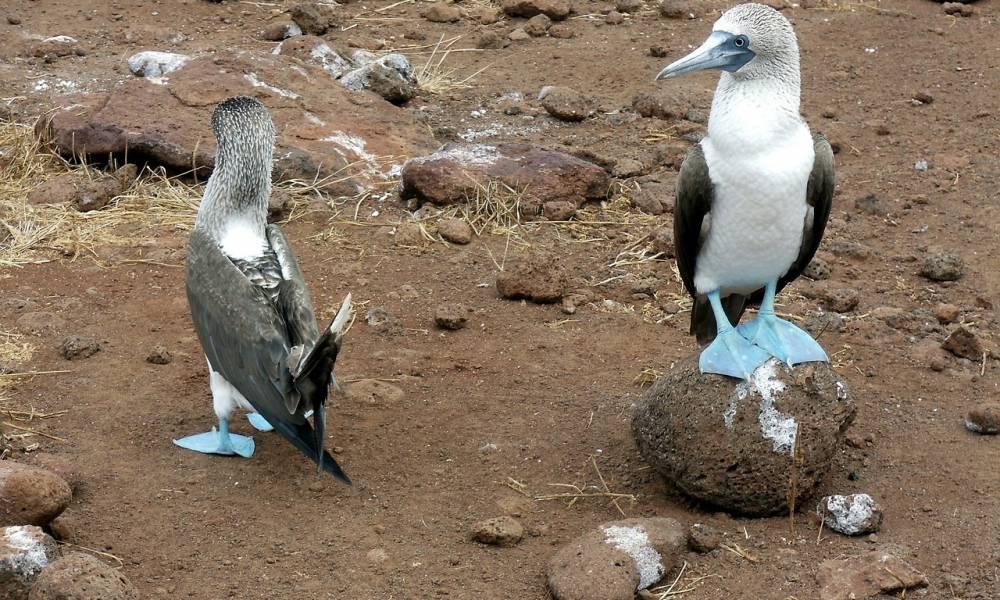 Blaufuß-Tölpel - Ornithologische Reisen
