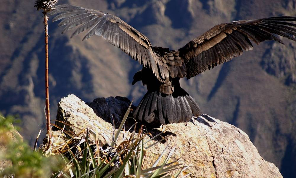 Kondor kurz vor dem Abflug - Ornithologische Reisen