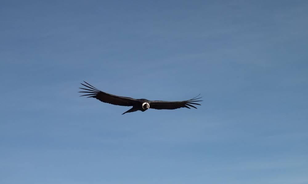 Kondor im Flug - Ornithologische Reisen