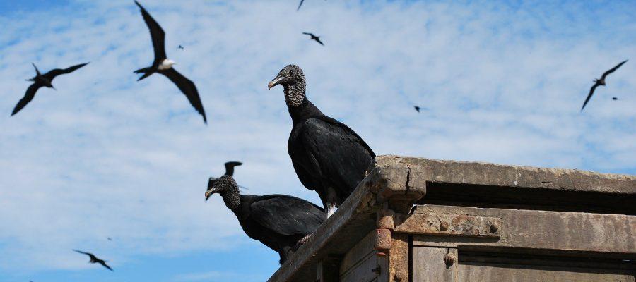 Geier in Ecuador - Ornithologische Reisen