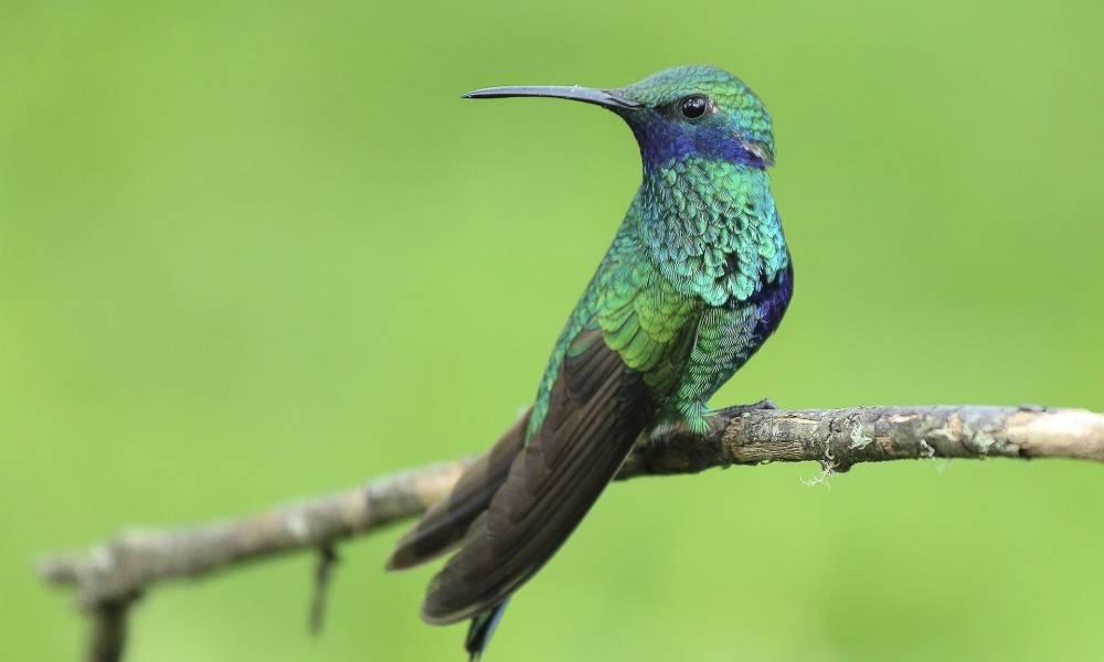 Das perfekte Federkleid der Kolibris - Ornithologische Reisen
