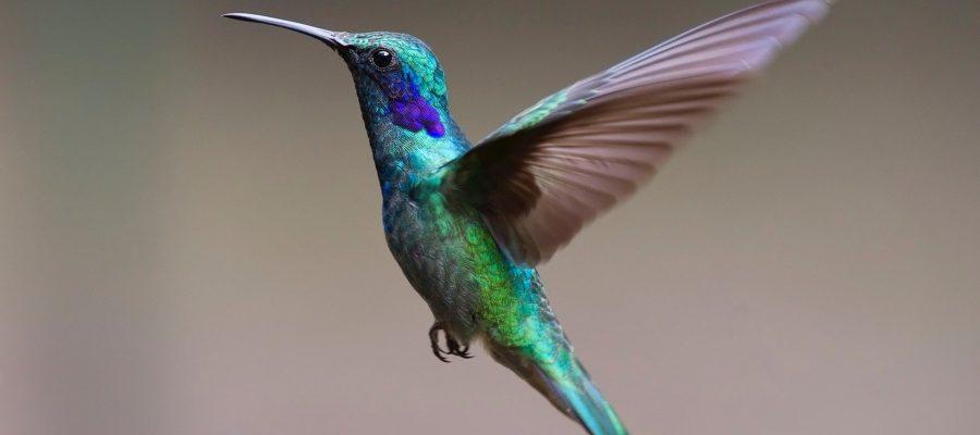 Schillernde Farben der Kolibris - Ornithologische Reisen