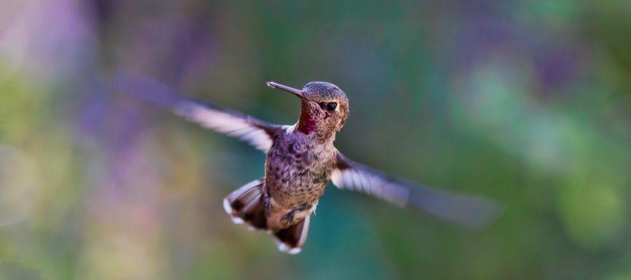 Flugkünstler Kolibri - Ornithologische Reisen