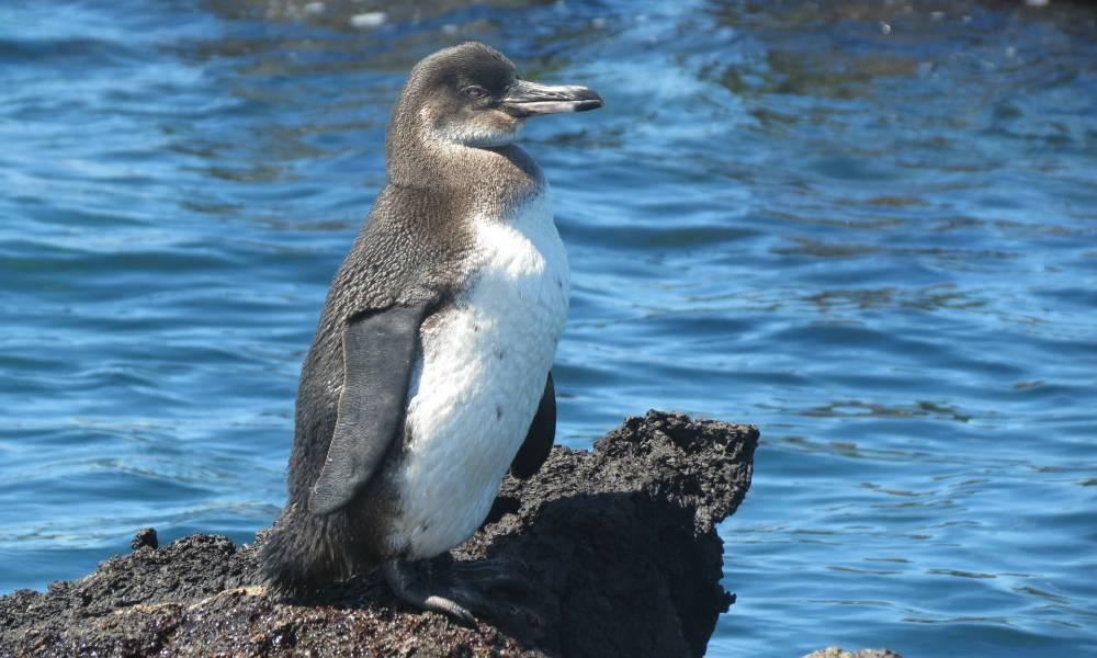 Galapagos-Pinguin - Ornithologische Reisen