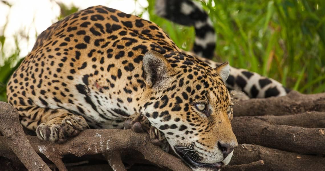Lebensraum des Leoparden - Ecuador-Reise-Erlebnis Shuar-Gemeinschaft